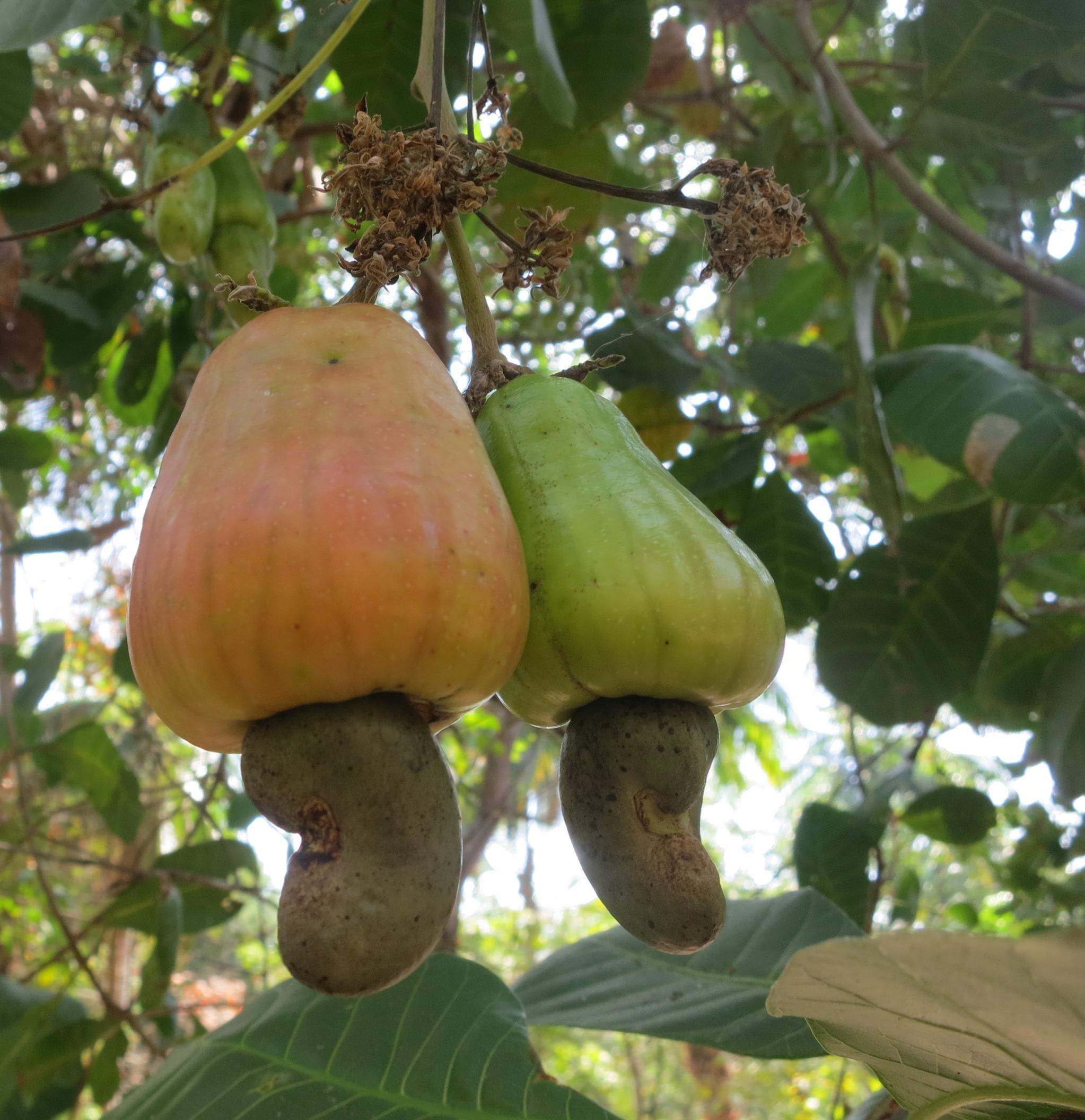 Cashew Nut Island Lettercollum Kitchen Project